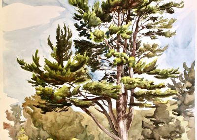 North Lawn Tree at College of the Atlantic, watercolor on paper, 50 x 40""