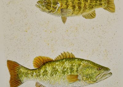 """Largemouth and Smallmouth Bass, watermedia on paper, 19 x 22"""""""