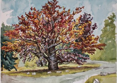 """Copper Beech, watercolor and gouache on paper, 19x25"""""""